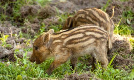 Nachwuchs bei den Wildschweinen