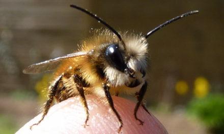 NABU: Wildbienen mit wenig Aufwand helfen