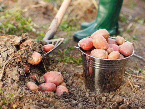Wo in Bauschheim die Kartoffeln wachsen