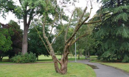 21 Bäume im Verna-Park gefällt – Stadtrat Kraft erläutert Hintergründe