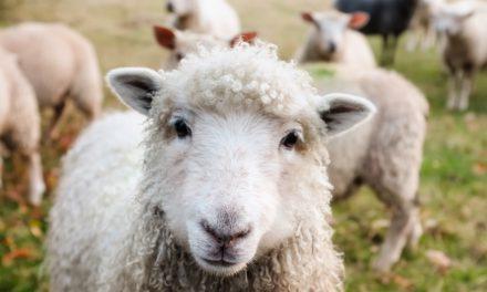 """""""Ein Schaf fürs Leben"""" statt """"Der Kleine Ritter Trenk"""""""