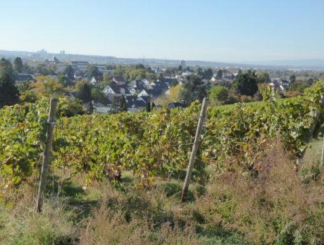 Die Geschichte des Weinbaus in Hechtsheim