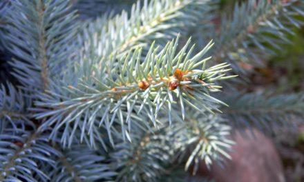Weihnachtsbäume in Kriftel bereits aufgestellt