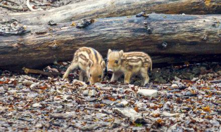 Nachwuchs im Wildpark: Bache brachte zwei Frischlinge zur Welt