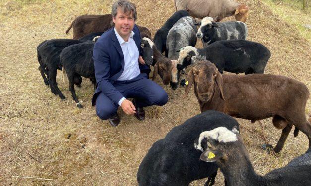 Schafe grasen im Stadtgebiet