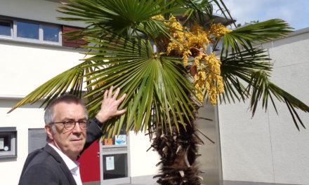 Palmen vor dem Parkbad blühen
