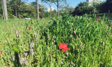 Großes Blumenbuffet für Bienen, Hummeln und andere Insekten mitten in der Stadt Rüsselsheim
