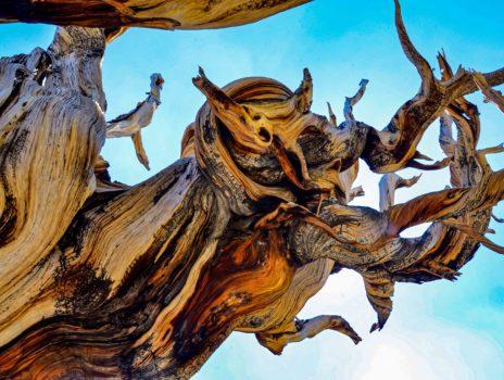 """""""Die ältesten Bäume der Welt"""""""