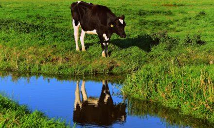 Unbekannte misshandeln Kühe – PETA setzt 1000 Euro Belohnung für Hinweise aus
