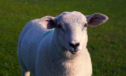 Schafe helfen beim Mähen