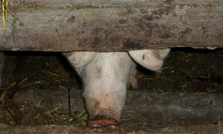 """<span class=""""entry-title-primary"""">Bekämpfung der Afrikanischen Schweinepest</span> <span class=""""entry-subtitle"""">Bundeslandwirtschaftsministerium setzt auf koordiniertes Vorgehen</span>"""
