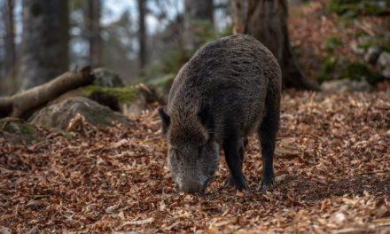Wildschweinjagd im Ostpark