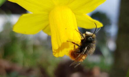 Förderung der Biodiversität in Rüsselsheim: 250.000 Frühblüher für Bienen und Hummeln