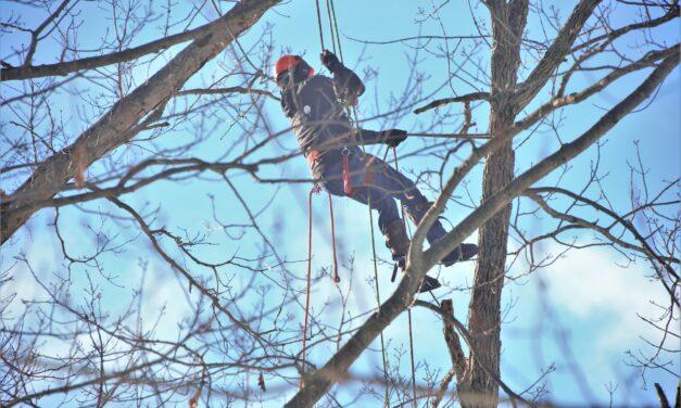 Baumpflegemaßnahmen an der Haßlocher Eiche
