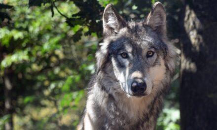 Spuren des Wolfes: Kehrt er nach Hessen zurück?