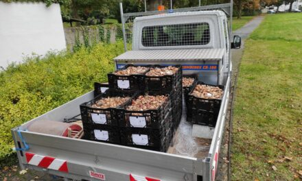 41.000 neue Blumenzwiebeln für Rüsselsheim