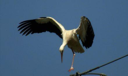 Einbeiniger Storch mit geringer Überlebenschance